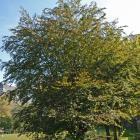 Vue générale de l'arbre. Hêtre européen à feuillage pourpre. Université McGill.