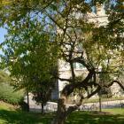 Vue générale de l'arbre. Fusain d'Europe. Université McGill.