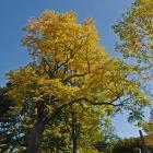 Vue générale de l'arbre. Chicot févier. Cimetière Mont-Royal.