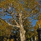 Vue générale de l'arbre. Bouleau à papier. Cimetière Mont-Royal.