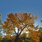 Vue générale de l'arbre. Érable à sucre. Cimetière Mont-Royal.