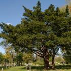 Vue générale de l'arbre. If japonais. Cimetière Mont-Royal.