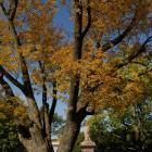 Vue de la section inférieure de l'arbre. Frêne blanc. Cimetière Mont-Royal.