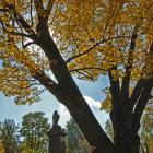 Vue des sections intérieures des troncs. Frêne blanc. Cimetière Mont-Royal.