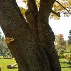 Vue des troncs. Frêne blanc. Cimetière Mont-Royal.
