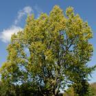 Vue générale de l'arbre. Micocoulier occidental. Cimetière Mont-Royal.