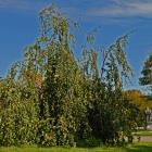 Vue générale de l'arbre. Hêtre européen pleureur. Cimetière Mont-Royal.