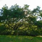 Vue générale de l'arbre. Métaséquoia de Chine. Cimetière Mont-Royal.