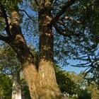Vue générale de la section inférieure de l'arbre. Érable à sucre. Cimetière Mont-Royal.