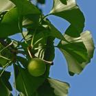 Feuilles et fruits. Arbre aux quarante écus. Cimetière Mont-Royal.