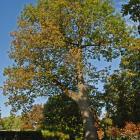 Vue générale de l'arbre. Chêne rouge. Cimetière Mont-Royal.