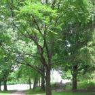 Vue générale de l'arbre. Phellodendron de l'Amour. Parc du Mont-Royal.