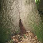 Détail de la base du tronc. Chêne rouge. Parc du Mont-Royal.