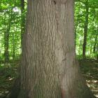 Base du tronc. Chêne rouge. Parc du Mont-Royal.