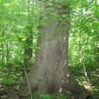 Vue de la base de l'arbre. Chêne rouge. Parc du Mont-Royal.