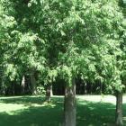 Vue générale de l'arbre. Cerisier tardif. Parc du Mont-Royal.