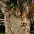 Vue générale de la section inférieure du tronc. Érable argenté. Cimetière Notre-Dame-des Neiges.