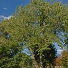Vue générale de l'arbre. Érable argenté. Cimetière Notre-Dame-des Neiges.