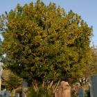 Vue générale de l'arbre. If japonais. Cimetière Notre-Dame-des Neiges.