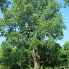 Vue générale de l'arbre. Peuplier deltoïde. Cimetière Notre-Dame-des Neiges.