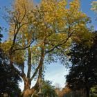 Vue générale de l'arbre. Frêne rouge. Cimetière Notre-Dame-des Neiges.