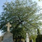 Vue générale de l'arbre. Févier épineux. Cimetière Notre-Dame-des Neiges.