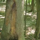 Cavité à la base du tronc. Caryer cordiforme. Parc du Mont-Royal.