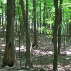 Vue générale du tronc et de la cavité à la base du tronc. Caryer cordiforme. Parc du Mont-Royal.