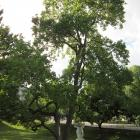 Vue générale de l'arbre. Tulipier de Virginie. Université McGill.