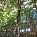 Vue générale de l'arbre et son reflet dans la structure de verre de l'édifice. Caryer cordiforme. Hautes études commerciales.